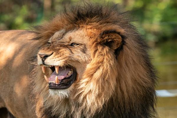 Short Essay on Lion